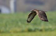 Buse variable © Sébastien You