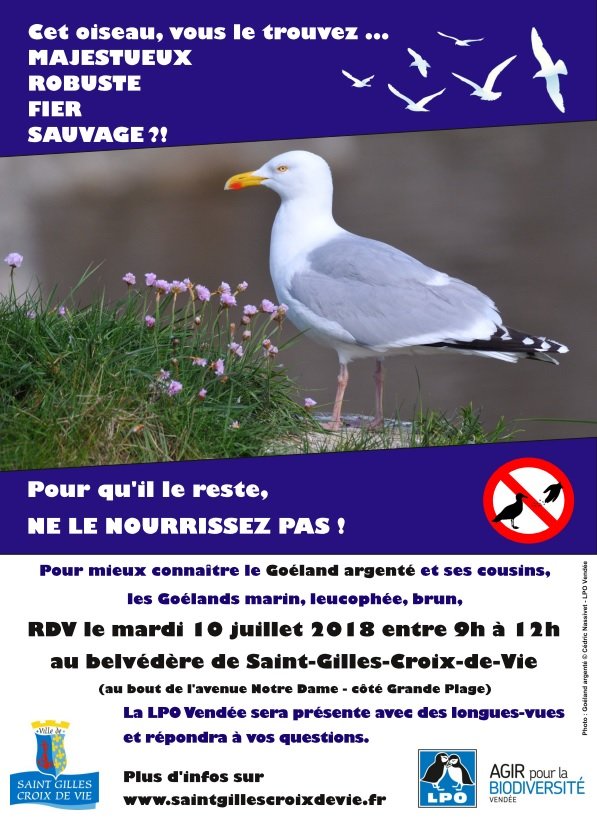 Goélands urbains à Saint-Gilles-Croix-de-Vie