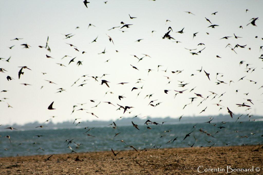 Hirondelles de rivage en migration - Photo © Corentin Bonnard