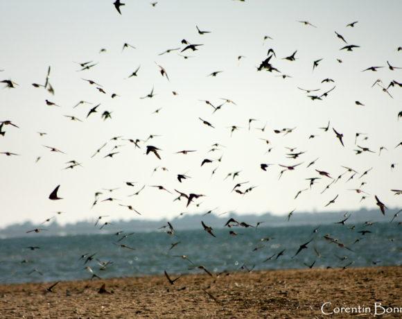 Suivi 2021 des oiseaux migrateurs à la pointe de l'Aiguillon