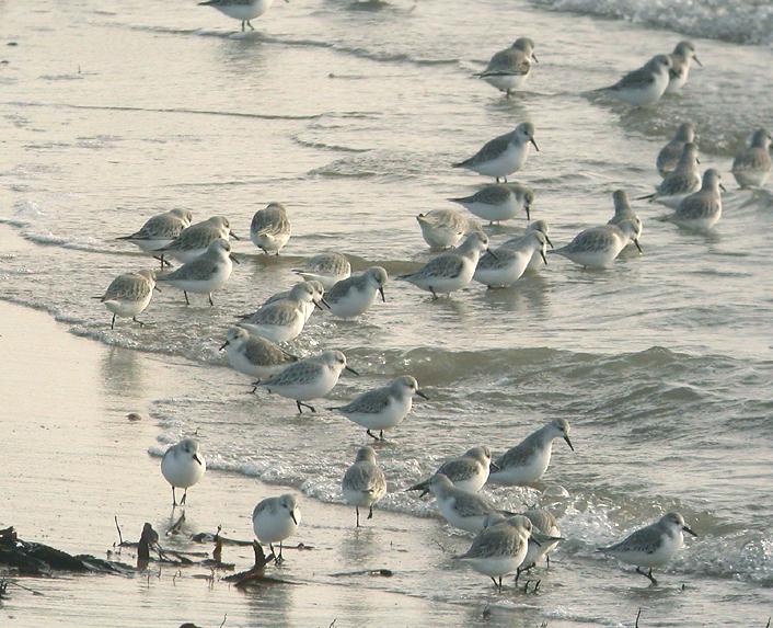 Comptage international des oiseaux d'eau de la mi-janvier (comptage WETLANDS)