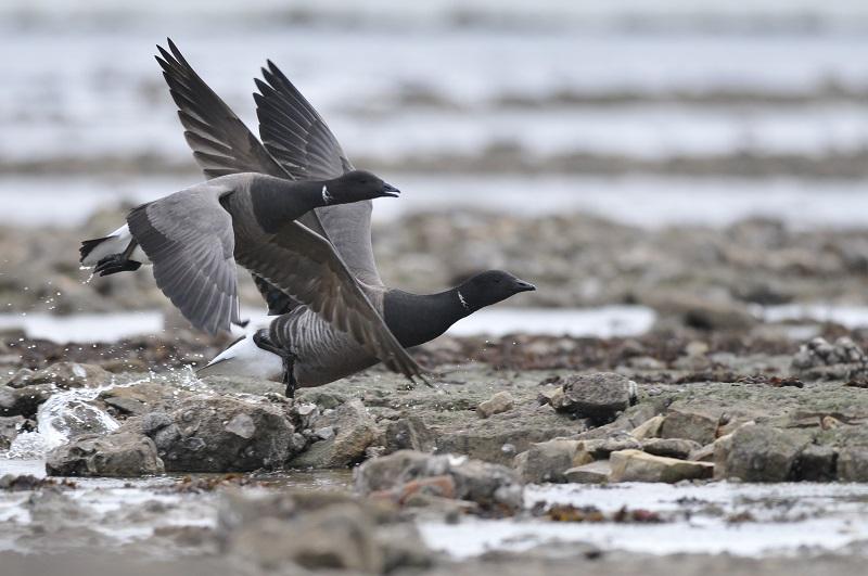 Oiseaux en baie de Jard