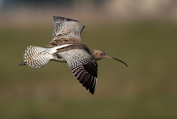Chasse de 3 espèces d'oiseaux en danger : donnez votre avis avant le 25 juillet 2019 !