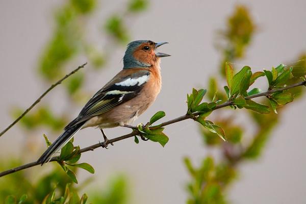 """ANNULÉE - Formation pour les adhérents LPO """"Initiation à la reconnaissance des chants d'oiseaux """""""