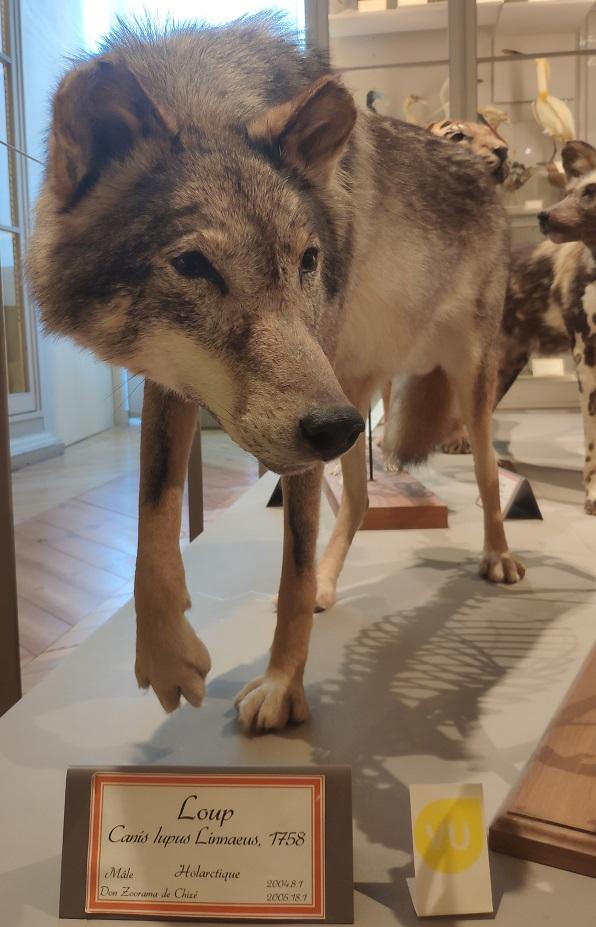 Loup (spécimen du Museum de La Rochelle) @ Amandine Brugneaux