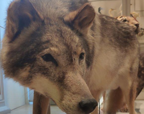 Faune sauvage: un loup en Vendée