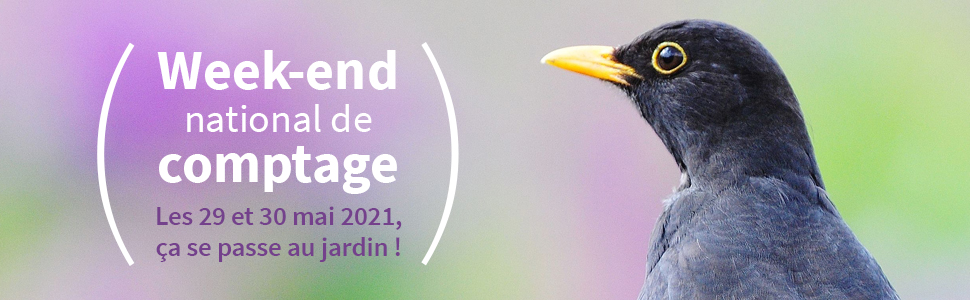 Comptage Oiseaux des jardins - Merle noir - Photo © Roland Pellion