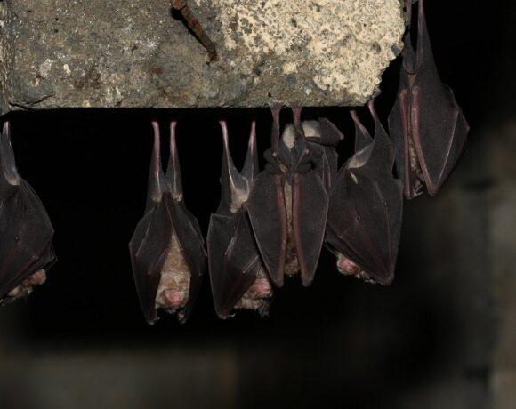 Les chauves-souris étudiées de près par la LPO Vendée